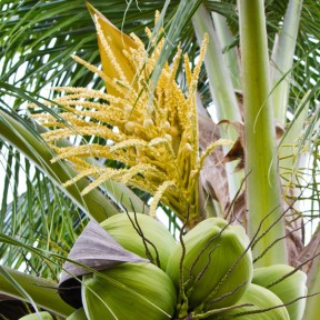 Image result for Coconut tree flower